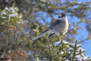 My first ever Gray Jay!