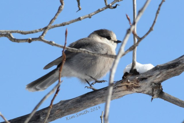 """Alternate view of the Gray Jay. A friend said he looks like he's dancing and I said he's copying me while I do my """"Lifer Dance""""!"""