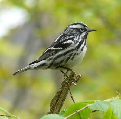 Black-and-White Warbler (by Jason Weckstein via Flickr Creative Commons license)