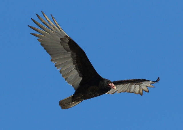 Turkey Vulture checking me out