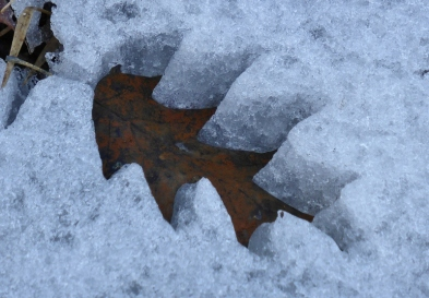 Leaves making cookie cutter shapes in snow as they melt (2) (800x556)