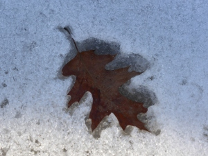 Oak leaves making cookie cutter shapes in the snow