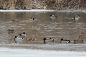 Ducks at Holland Ponds