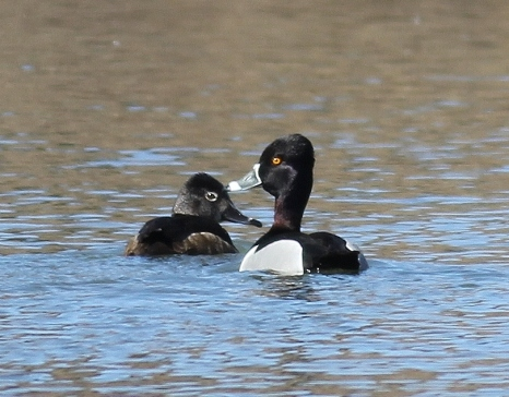 Male and female Ring-necked Ducks, just chillin' in the pond.