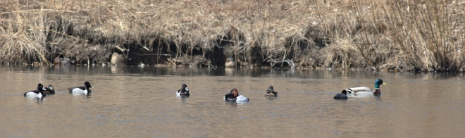Four species of ducks here, coexisting peacefully.