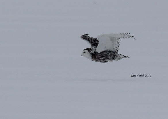 Snowy-Owl-in-flight-v2-w-sig