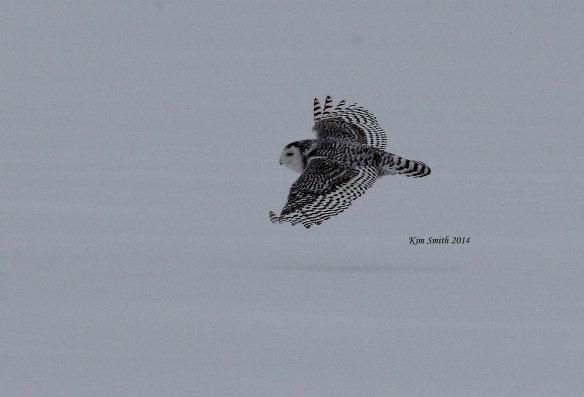 Snowy-Owl-in-flight-v4-w-sig