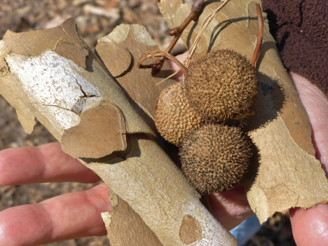 Sycamore bark and seed pods. I loved the heart shaped section of bark.