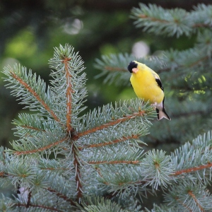 Goldfinch using our newly-planted spruce tree last summer.