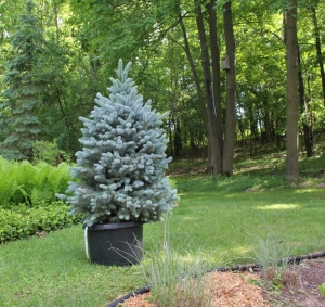 We planted this Colorado Blue Spruce in our yard last year.