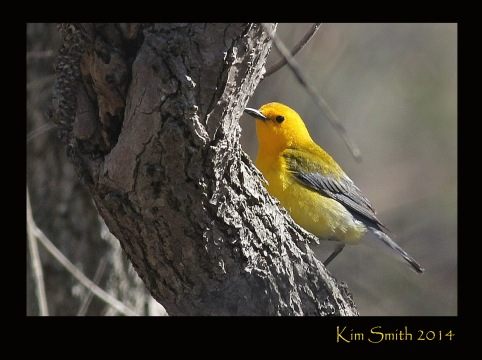 Prothonotary Warbler - seen at Magee Marsh in Ohio on April 23, 2014.
