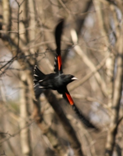 Red-winged Blackbird, another of our migratory species