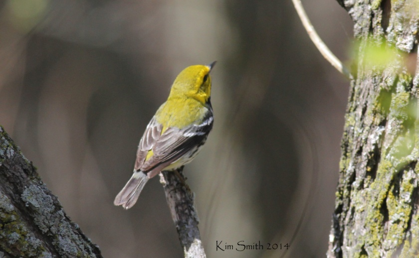 Black-throated Green Warbler seen from above -- isn't he gorgeous?