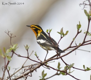 Blackburnian Warbler, one of my favorites