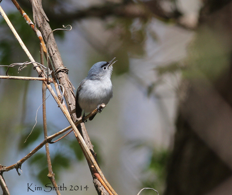 A very photogenic Blue-gray Gnatcatcher