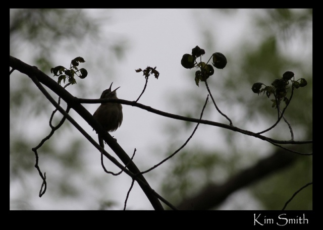 Carolina Wren singing - silhouette - great pic (800x571)
