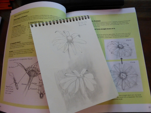 Daisy sketch (2) (800x600)