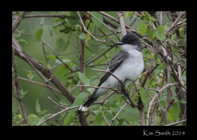 Eastern Kingbird, a very charismatic flycatcher