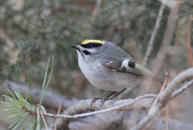 Golden-crowned Kinglet - best crop (800x541)