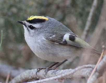 Golden-crowned Kinglet for blog widget
