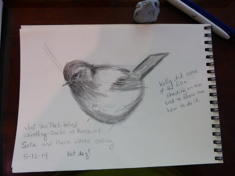 Junco sketch with help from Kelly (1) (800x600)