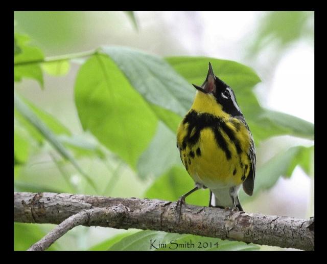 Magnolia Warbler singing