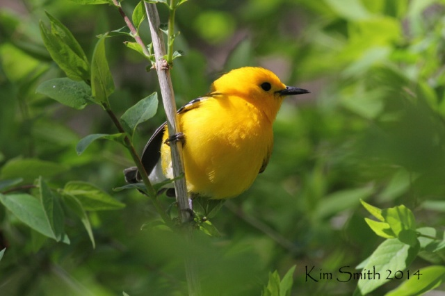 Prothonotary Warbler, only a couple feet away!