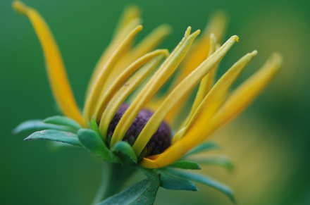 Black-eyed Susan by Rebecca Thomas for my blog