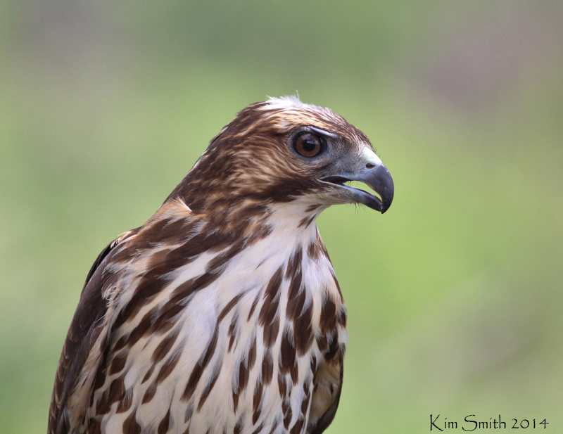 Broad-winged Hawk - captive bird from rehab center