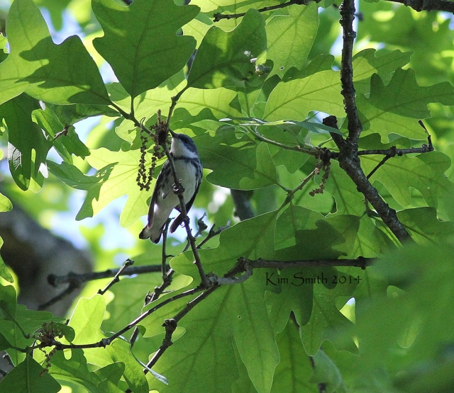 Cerulean Warbler, June 7, 2014, Barry County, Michigan