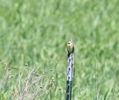 Blurry Dickcissel singing