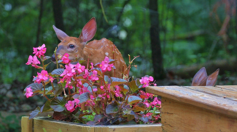 Fawn eating my flowers