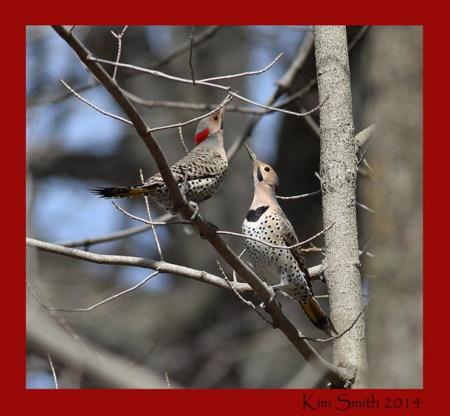 Northern Flickers in early breeding season