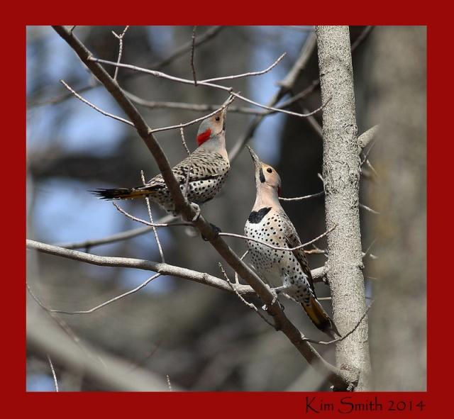 Northern Flickers in early breeding season
