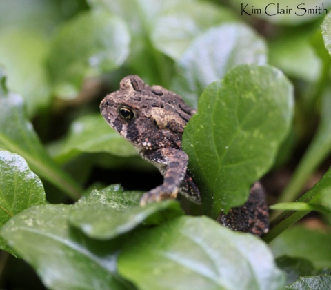 Two inch-long tiny toad