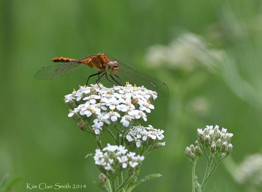 Wandering Glider dragonfly