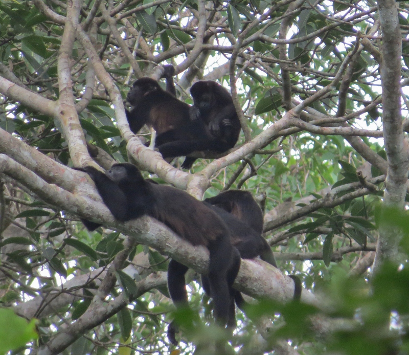Howler Monkeys (800x694)