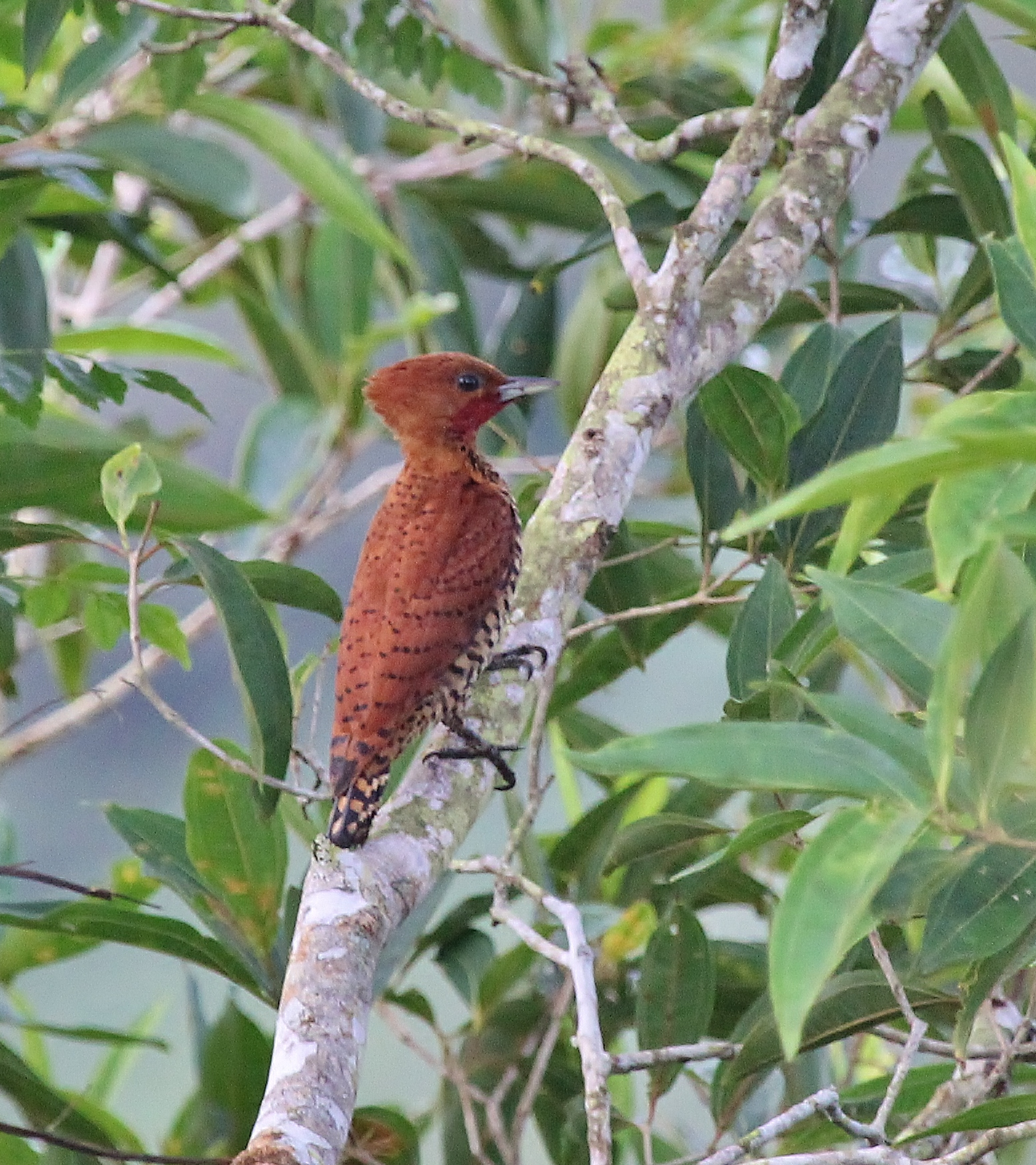 Cinnamon Woodpecker male