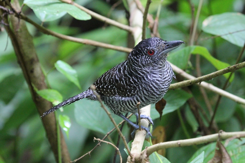 Fasciated Antshrike papa, investigating the humans who were apparently too close to his offspring.
