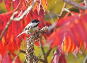Chickadee on red sumac w sig