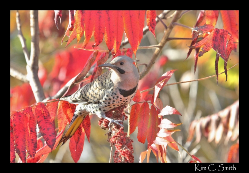 Northern Flicker right outside my window