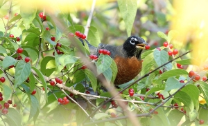 Robin with red berry in beak w sig