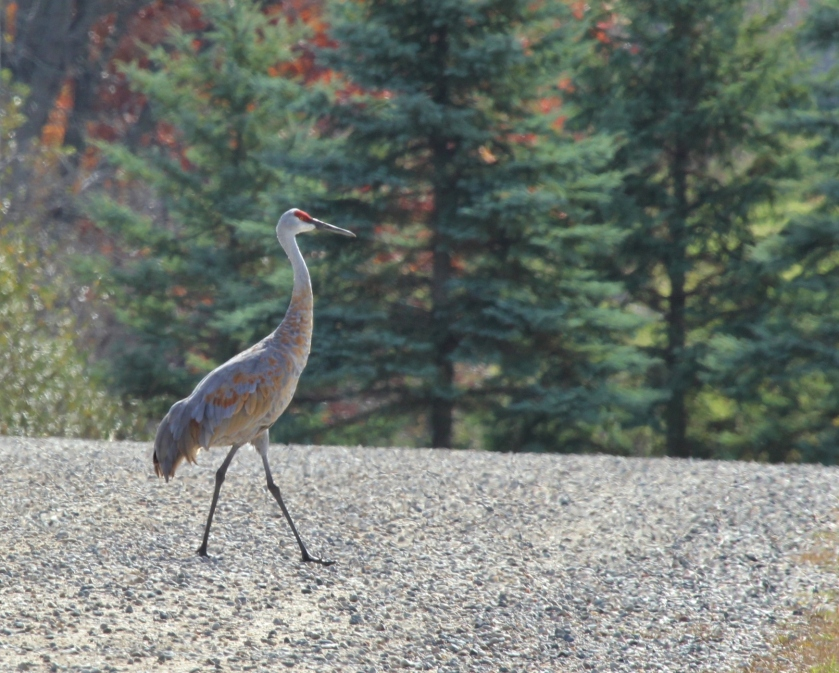 Sandhill Crane on gravel road