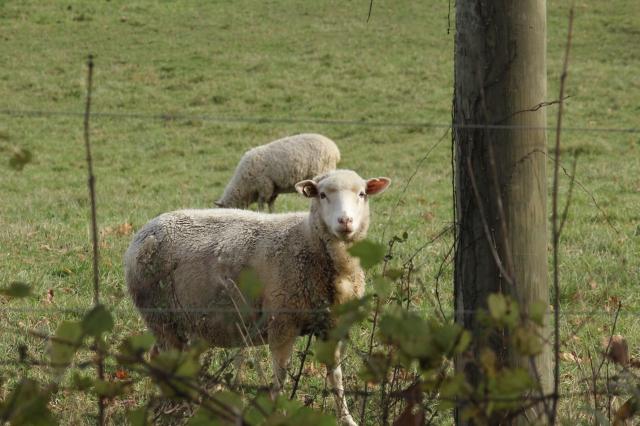 Sheep through a fence