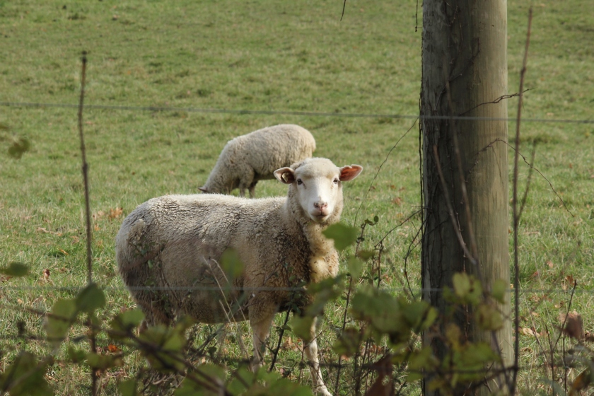 Sheep through a fence