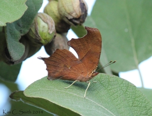 """""""A member of the Comma family"""" is as far as I could get in identifying this one."""