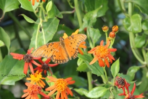 I think this is a Gulf Fritillary (Corrections welcome if I'm wrong)