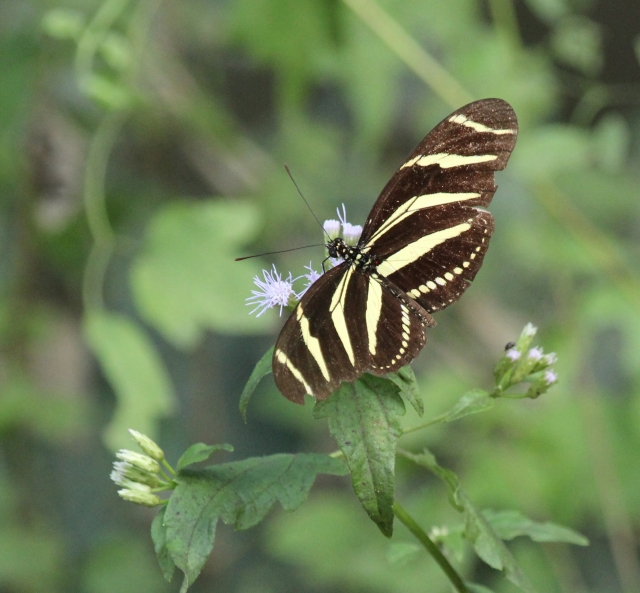 Zebra Heliconian, one of my favorites from my trip to Texas