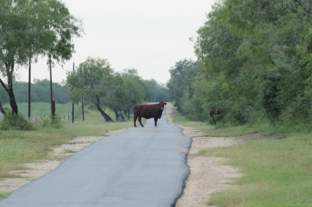 Cow on road at King Rancch (800x533)