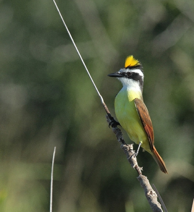 Great Kiskadee showing off